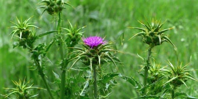 درمان بیماریهای کبدی با استفاده از گیاه خارمریم