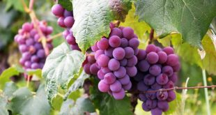 خواص مصرف انگور برای بیماریهای کبد