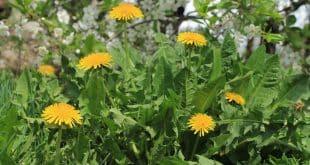 گیاه قاصدک برای درمان سنگ کلیه و کیسه صفرا