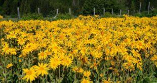 خواص گل همیشه بهار کوهی