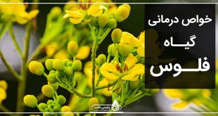 خواص درمانی گیاه فلوس