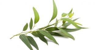 Eucalyptus اكالیپتوس