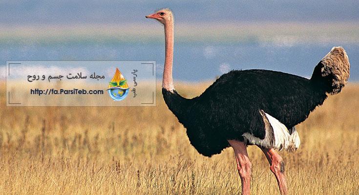 شترمرغ ostrich