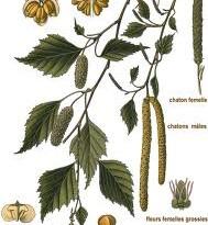خواص دارویی درخت توس یا غان