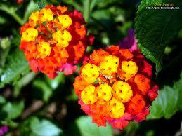 گل شاه پسند تسکین دهنده مناسبی برای نقرس