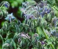 گل گاوزبان تقویت کننده قلب و نشاط آور است