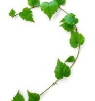 برگ پیچک برای درمان آسم مفید است