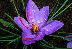 زعفران خاصيت ضد سرطاني دارد