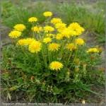 گل قاصد برای تصفیه خون مفید است