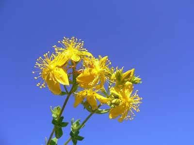 اطلاعات جامع و علمی درباره گل راعی ( Hypericum perforatum )
