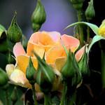 استفاده از عطر و روغن های خوش بو برای درمان بیماریها