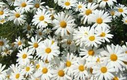 کاهش تب و درد با گل داودی