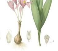 گل حسرت، داروی اختصاصی نقرس حاد