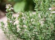 آویشن شیرازی اثرات آلودگی هوا را کاهش میدهد