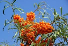 برگ سنجد تلخ بهترین درمان برای اختلالات کبدی