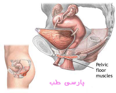تقویت عضلات کف لگن - تمرینات کیگل (کگل)