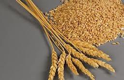 ساقه گندم اختلال کبد را رفع میکند