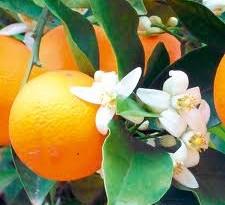 خواص گل بهار نارنج