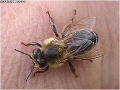 درمان زنبور زدگي