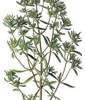 عـرق مـرزه ( satureia hortensis )