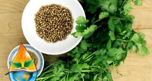 گیاه دارویی گشنیز و خواص آن (2)