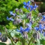 دم کرده گل گاوزبان و لیموعمانی؛ مفید برای سرماخوردگی