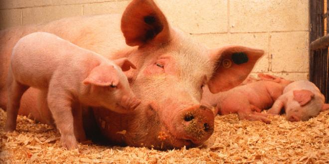 تحريم گوشت خوک فقط بخاطر انگل نيست
