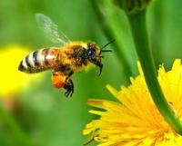 سم زنبور