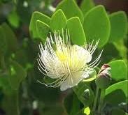 گیاه «کبر» در تسکین حملات آسم مفید است