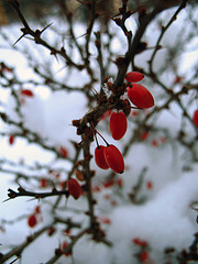barberry4