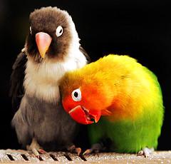 love-birds1