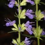 گل زوفا با نام علمي Hyssopus officinalis