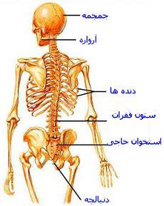 skelet1598