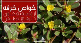 گیاه خرفه و یک دنیا خاصیت ، از تصفیه خون تا رفع عطش
