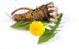 ریشه قاصدک - درمان سنگ کلیه